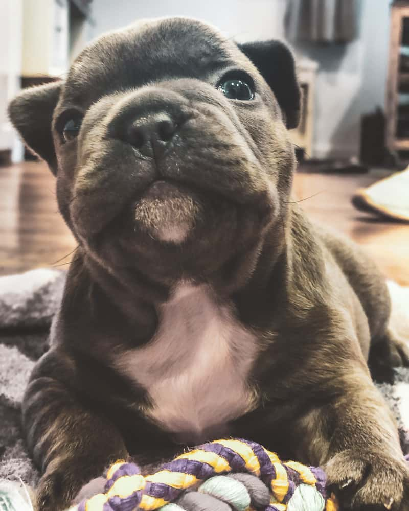 photo of Grizzly - a blue brindle french bulldog puppy